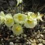 Narcissus_romieuxii_ssp_romieuxii_var_mesatlanticus2