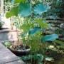 Nelumbo-nucifera-Sacred-Lotus-Egyptian-Lotus-w300