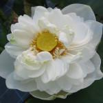albaplena