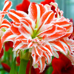 amaryllis-double-dancing-queen1