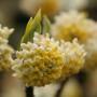edgeworthia-flowers