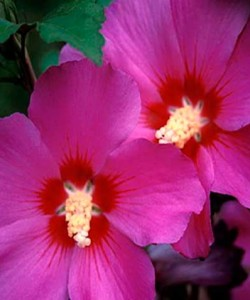 hibiscus_russian_violet