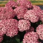 incrediball_blush_hydrangea_blooms