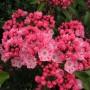 kalmia-latifolia-ewa-ericaceae-lorbeerrose