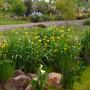 know-your-iris-yellow-flag-iris_pseudacorus_02 (1)