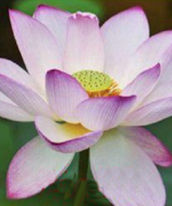 lotos_orekhonosnyy_nelumbo_nucifera_purple_lip (1)