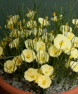 sizednarcissus-romieuxii-Julia-Jane-rrw-narcissus-salver-0117