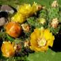 Opuntia-ficus-indica1