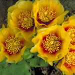 Opuntia-humifusa-Devils-Tongue-Eastern-Prickly-Pear3