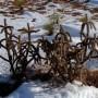 kaktus-mrozoodporny-cylindropuntia-imbricata-5