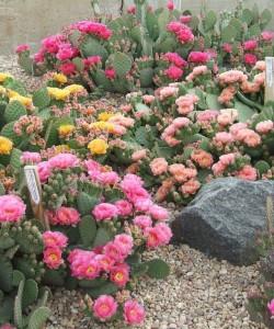 opuntia-flowers