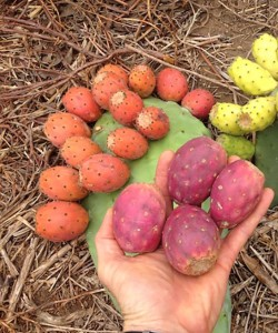 opuntia-fruit