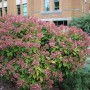 Hydrangea paniculata 'Quick Fire'