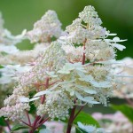 Hydrangea_paniculata_HPOPR018_Early_Harry_202_1