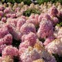 hortensja-bukietowa-magical-sweet-summer-hydrangea-paniculata-magical-sweet-summer