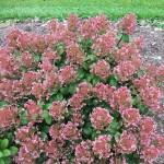 hydrangea-paniculata-little-quick-fire-smhplqf--753-p