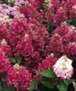 hydrangea-paniculata-vesuvio-hortensja-bukietowa