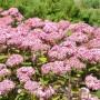 hydrangea_arborescens_magical_pinkerbell_kolpinbel_1__033690200_1822_30112017