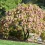 hydrangea_paniculata_tree_form_habit_-_october_26_2014_-_nybg_640x426_