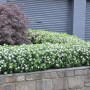 Daphne-Eternal-Fragrance-hedge-193