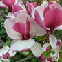 Magnolia-ruby