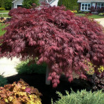 crimson-queen-japanese-maple-21