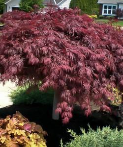 crimson-queen-japanese-maple-21