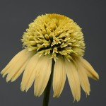 double_scoop_lemon_cream_echinacea_oe