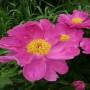 pion-molochnocvetkovyj-dehnsing-baterflyaj-paeonia-lactiflora-dancing-butterfly-cvetok.jpg