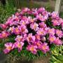 pion-molochnocvetkovyj-dehnsing-baterflyaj-paeonia-lactiflora-dancing-butterfly-rastenie.jpg