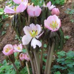 podophyllum_hexandrum_majus_indiskt_fotblad_2_2