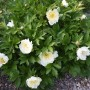 20180502_0218 Southern Peony Best Performer 'White Emperor' Bush