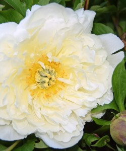 20180502_0224 Southern Peony Best Performer 'White Emperor' Bloom