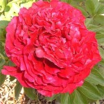 paeonia-ole-faithful-3