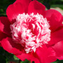 Paeonia 'Nellie Saylor' RK10 4