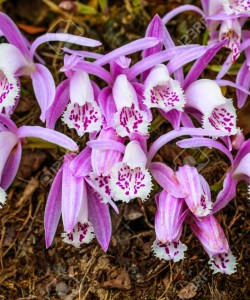 Pleione praecox, rare natural  orchid in high mountain of Thaila