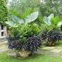 Colocasia-gigantea-Thailand-Giant-Lantana-Ipomoea-1