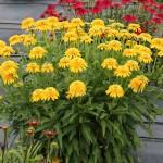 Echinacea-Cara-Mia-Yellow-2
