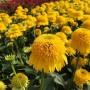 Echinacea-Cara-Mia-Yellow-5