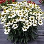 Echinacea-Kismet-White-1