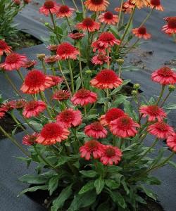 Echinacea-Prima-Cinnamon-1