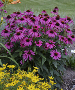 Echinacea Purple Emperor55