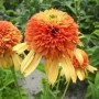 Echinacea-Rhytmes-in-Orange-300x300