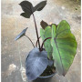 blad-leaf-colocasia-esculenta-black-magic-elephant