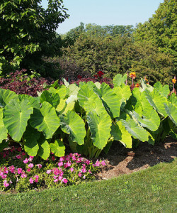 colocasia-elephant-ears-plant