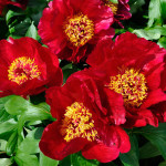 content_peony-red-red-rose3