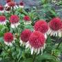 echinacea-strawberry-and-cream