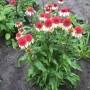 echinacea-strawberry-cream2