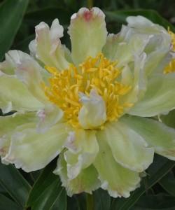 green-lotus
