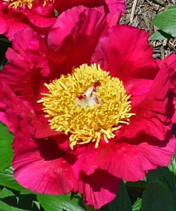 peony-red-hot-babe